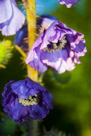 Meconopsis sp, Chadwell collection