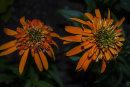 Echinacea purpurea Marmalade