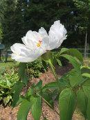 Paeonia, White wings