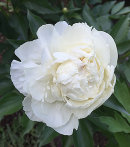 Luktpionen, Paeonia lactiflora