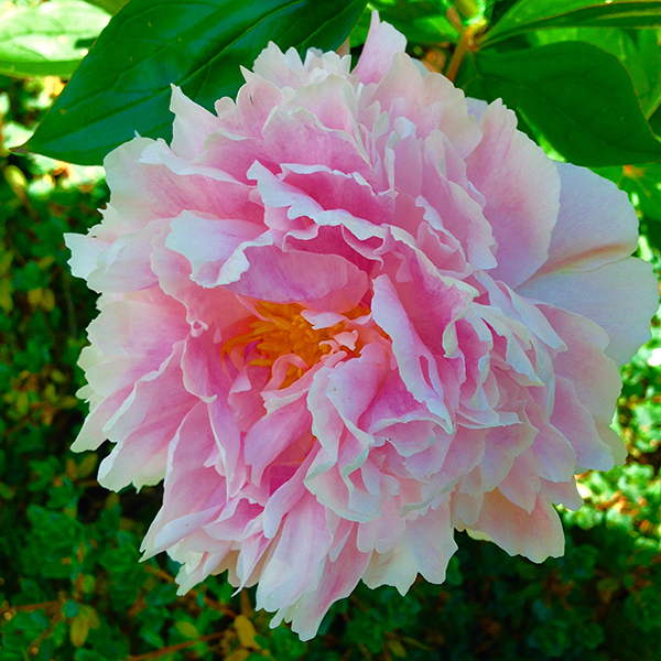 Wonderful Paeonia
