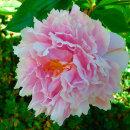 Wonderful Paeonia