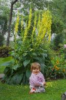 Lovisa och Verbascum chaixii