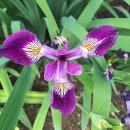 Iris sibirica, Currier