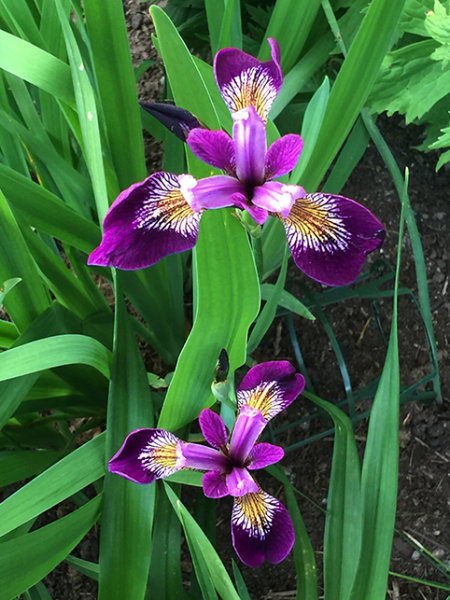 Iris sibirica 'Jewelled Crown'