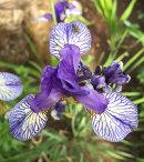 Iris sibirica Shaker's Prayer
