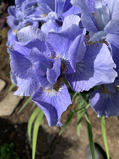 Iris sibirica 'Blue Moon'