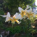 Lilium White Henryi