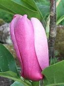 Magnolia, Heaven Scent