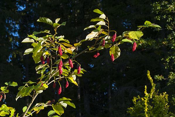 Magnolia sieboldii frökapslar