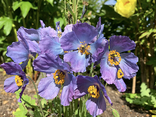 Meconopsis var. from seed, monocarpic.