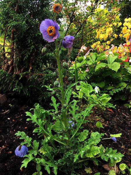 Meconopsis aculeata 'Purple'