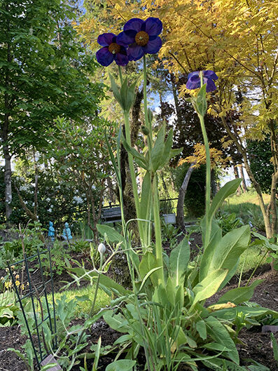 Meconopsis var. from seed