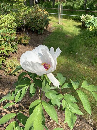 Paeonia 'White wings'