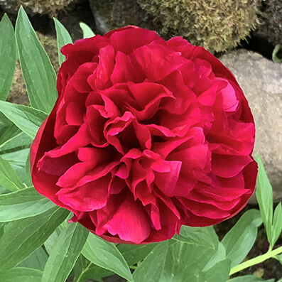 Paeonia, red double