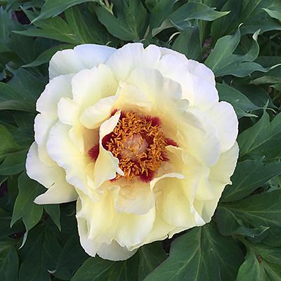 Paeonia suffruticosa, Kinshi