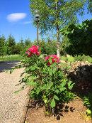 Paeonia suffruticosa 'Shimadaijin'