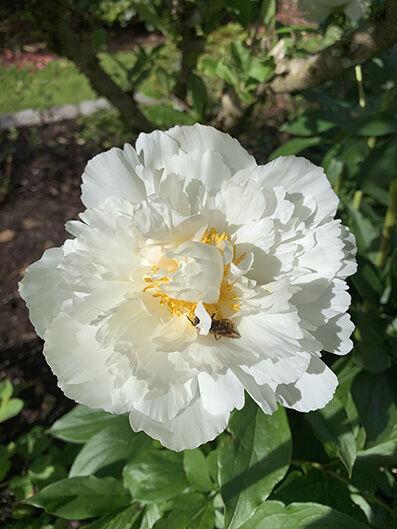 Paeonia, white