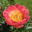 Paeonia, Coral Sunset