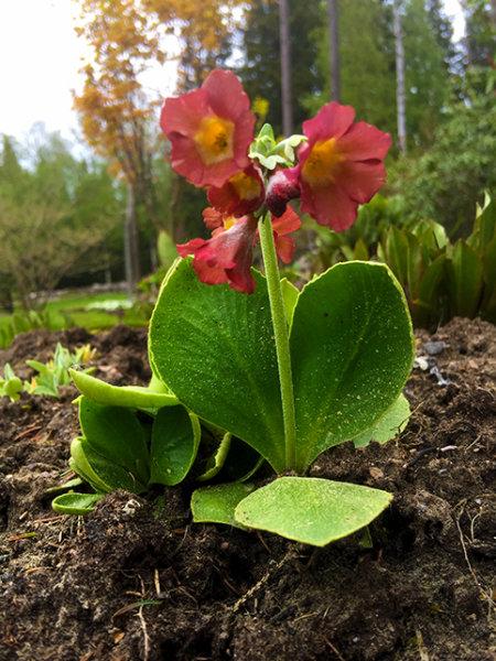 Primula auricula, seedling