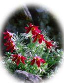Pulsatilla vulgaris 'Röd Form'