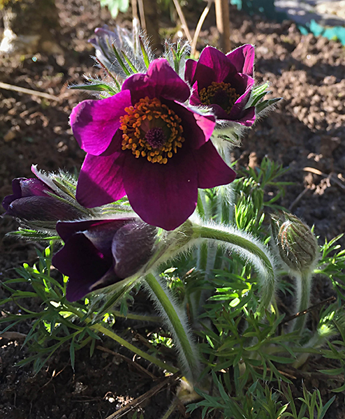 Pulsatilla vulgaris, Red. Backsippa.