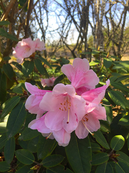 Rhododendron sp
