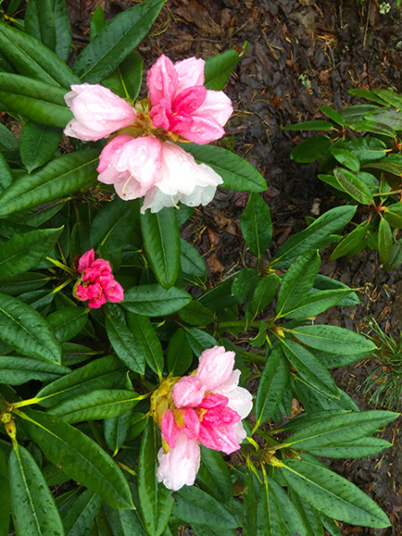 Rhododendron seedling