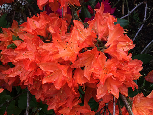 Rhododendron (azalea) orange