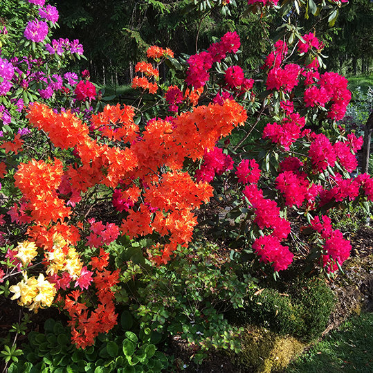 Rhododendron colours