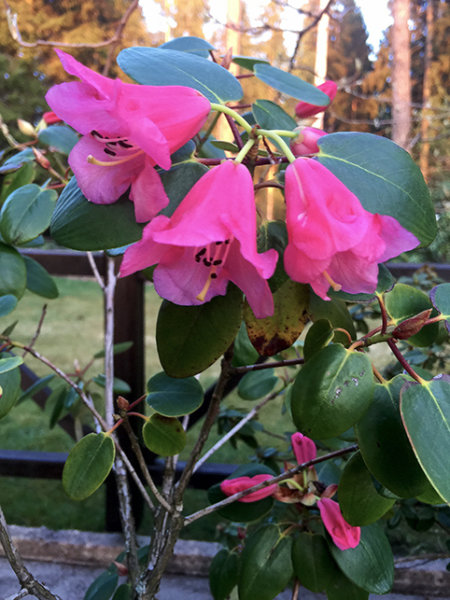 Rhododendron 'Temple bell'