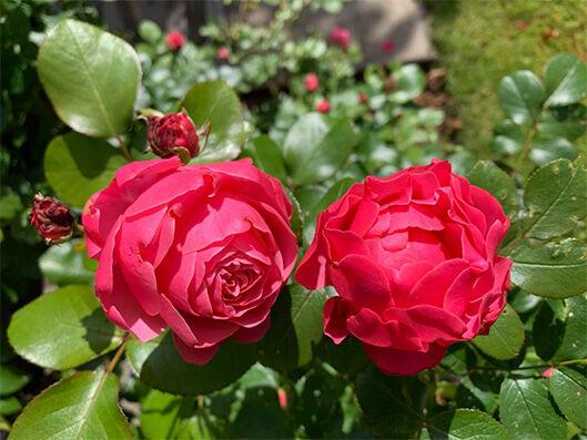 Rosa 'Flammentanz '