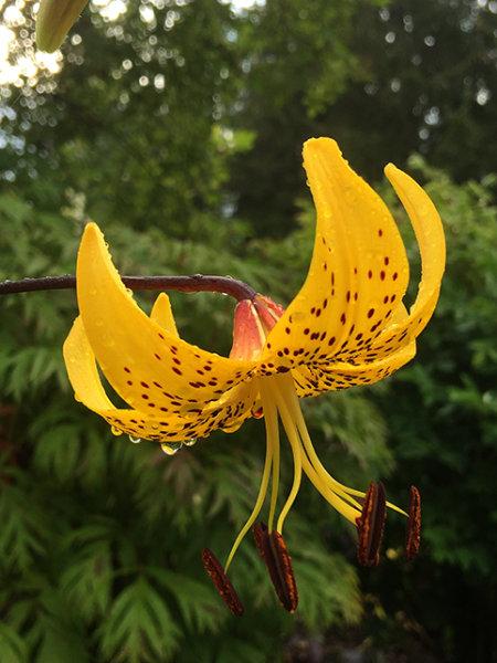 Lilium lancifolium Yellow