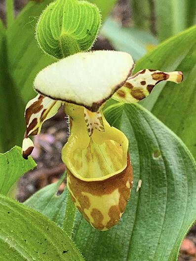 Cypripedium yatabeanum
