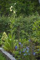 Meconopsis paniculata?