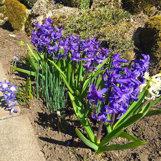 Hyacint (Hyacinthus)