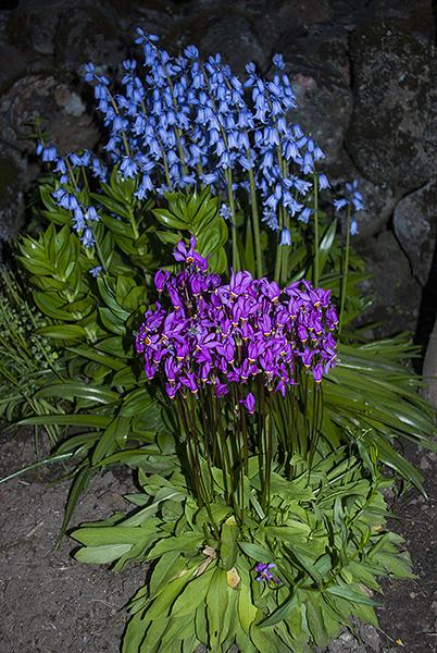 Hyacinthoides hispanica blue (Spansk klockhyacint) and Dodecatheon media (Tolvgudablomma)