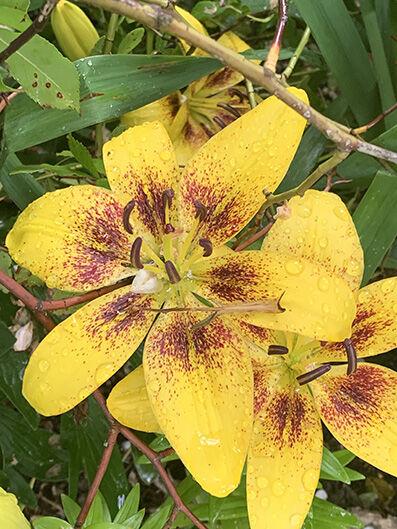 Lilium asiatic, yellow