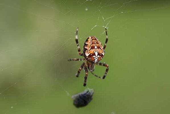 Kors-spindel