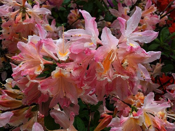 Rhododendron kermesina rosea