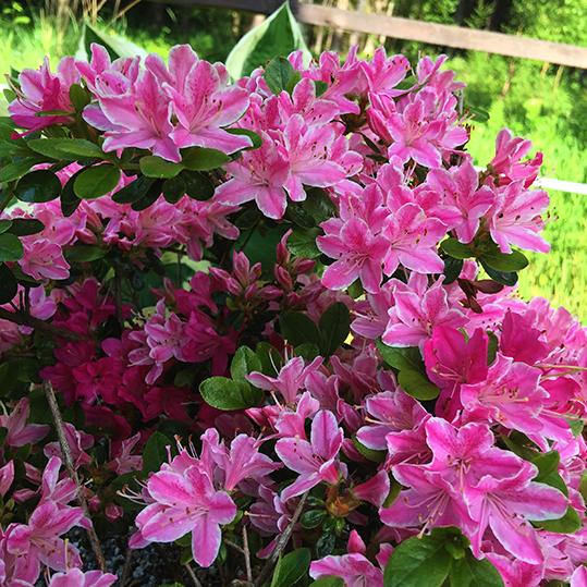 Rhododendron kermesina rosea (azalea)