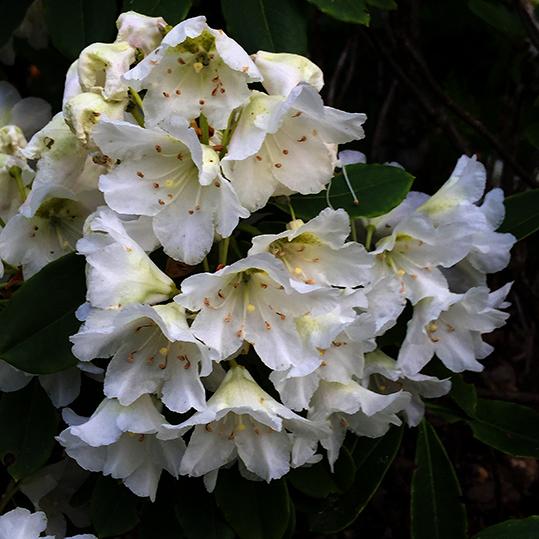 Rhododendron kermesina white (azalea)