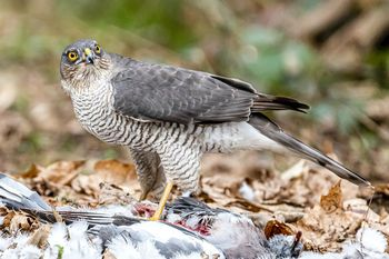 3rd#Pete Sorrell#Breakfast with a Sparrow Hawk 2