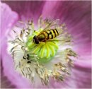 3rd#Sue Field#Hoverfly on Poppy
