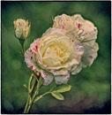 3rd#Sue Field#Vintage Roses