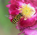 Jnt3rd#Sue Field# Hoverfly on Shrub Rose