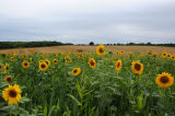 Sunflowers Near Winchester