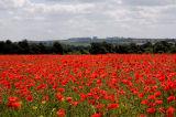 Poppy Fields Near Kingsworthy
