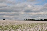 Poppies Near Kings Worthy