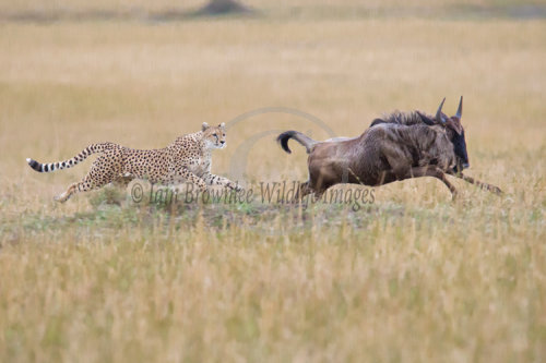 Cheetah chasing a young Wildebeest.